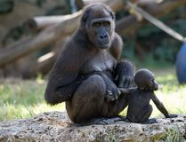 Female of gorilla with baby stock images