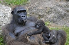 Female gorilla with a baby Stock Images