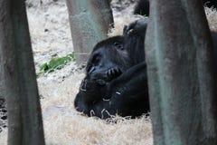 Female Gorilla with baby Royalty Free Stock Photos