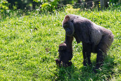 Female Gorilla with baby Stock Image