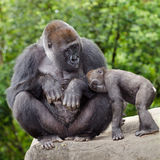 Female gorilla caring for young Stock Photography