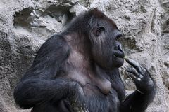 Female gorilla eating Royalty Free Stock Images