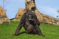 Female Gorilla Royalty Free Stock Image
