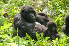 Female Gorilla with infant. A female Gorilla nursing an Infant, Parc Nationales des Volcanoes, Rwanda Stock Images