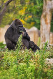 Female gorilla with kid Royalty Free Stock Images