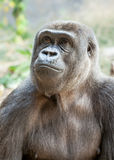 Female Gorilla Looking Up Wistfully. Head and chest of a female Western Lowland Gorilla (Gorilla gorilla gorilla) looking up and to the left in a pensive and royalty free stock photo