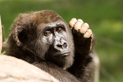 Female Gorilla portrait. Portrait of a female Gorilla in a zoo Royalty Free Stock Photography