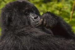 Female Gorilla Portrait Royalty Free Stock Photos