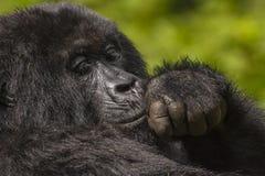Female Gorilla Portrait Royalty Free Stock Images