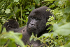 Female gorilla in Rwanda. A female Gorilla in the forest of Volcanoes National Park, Rwanda stock images