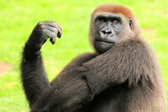 Female gorilla striking a pose Royalty Free Stock Photography