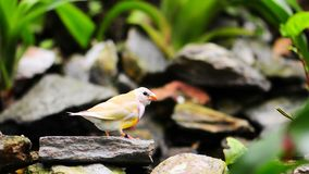 Female Gouldian Finch Bird Stock Images