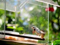 Female Gouldian Finch bird eating Stock Photos