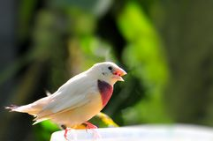 Female Gouldian Finch bird Stock Photography