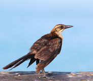 Female grackle Royalty Free Stock Photos