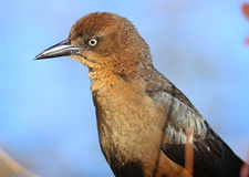 Female Grackle Stock Photo