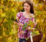 Female grape picker Royalty Free Stock Image