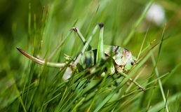 Female grasshopper Royalty Free Stock Photography