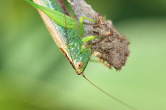 Female grasshopper Stock Photography