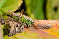 Female of grasshopper. The female grasshopper lurking on dry leaf Royalty Free Stock Photo