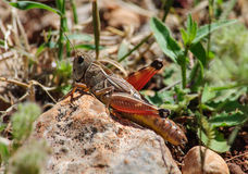 Female grasshopper sitting on a large stone. Stock Images