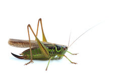 Female of grasshopper on white Stock Image
