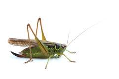 Female of grasshopper on white Stock Image