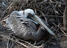 Female Gray Brown Pelican on Nest. Female gray brown pelican with white head and long fray bill is nesting on pile of loose wood twigs royalty free stock photography