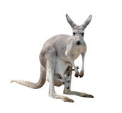 Female gray kangaroo with joey. In pouch isolated Stock Image