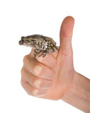 Female gray tree frog on hand. Hand showing that everything is g Stock Photography