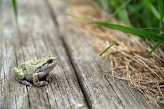 Female, Gray Treefrog (Hyla versicolor) on wooden planks by grass. A bumpy, female, Gray Treefrog (Hyla versicolor) sits on rough, wooden planks and looks into Stock Images