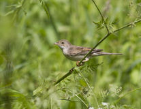 Female gray warbler sitting on a branch. Royalty Free Stock Photography