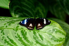 Female Great Eggfly Butterfly Royalty Free Stock Photo