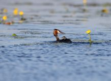 Female great grebe floats on the lake stock photos