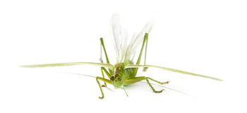 Female Great Green Bush-Cricket Stock Photo