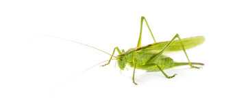 Female Great Green Bush-Cricket Royalty Free Stock Photography