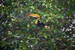 Female  Great hornbill (Buceros bicornis) Stock Photos