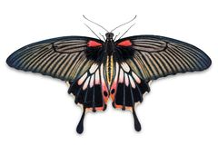 Free Female Great Mormon Papilio Memnon Butterfly Stock Image - 110867351