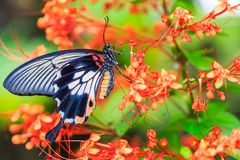 Female Great Mormon Papilio memnon butterfly royalty free stock photography