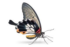 Female Great Mormon Papilio memnon butterfly royalty free stock photo