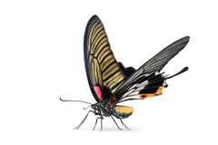 Female Great Mormon Papilio memnon butterfly royalty free stock photos