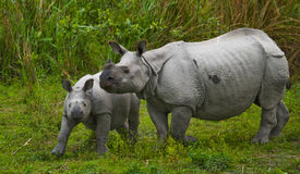 The female Great one-horned rhinoceroses and her calf. India Royalty Free Stock Photo