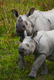 The female Great one-horned rhinoceroses and her calf. India Royalty Free Stock Photos