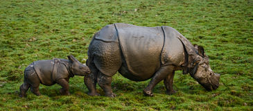 The female Great one-horned rhinoceroses and her calf. India Stock Images