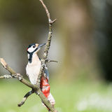 Female great spotted woodpecker Royalty Free Stock Image