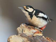 Female great spotted woodpecker on the feeder. Stock Photography