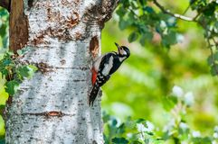Female great spotted woodpecker at its nest Stock Image