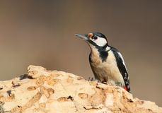 A female of Great spotted woodpecker in warm morning ligh. Great spotted woodpecker in warm morning light Stock Photos