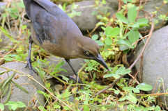 Female Great-Tailed Grackle Royalty Free Stock Photos
