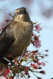 Female Great Tailed Grackle Stock Image